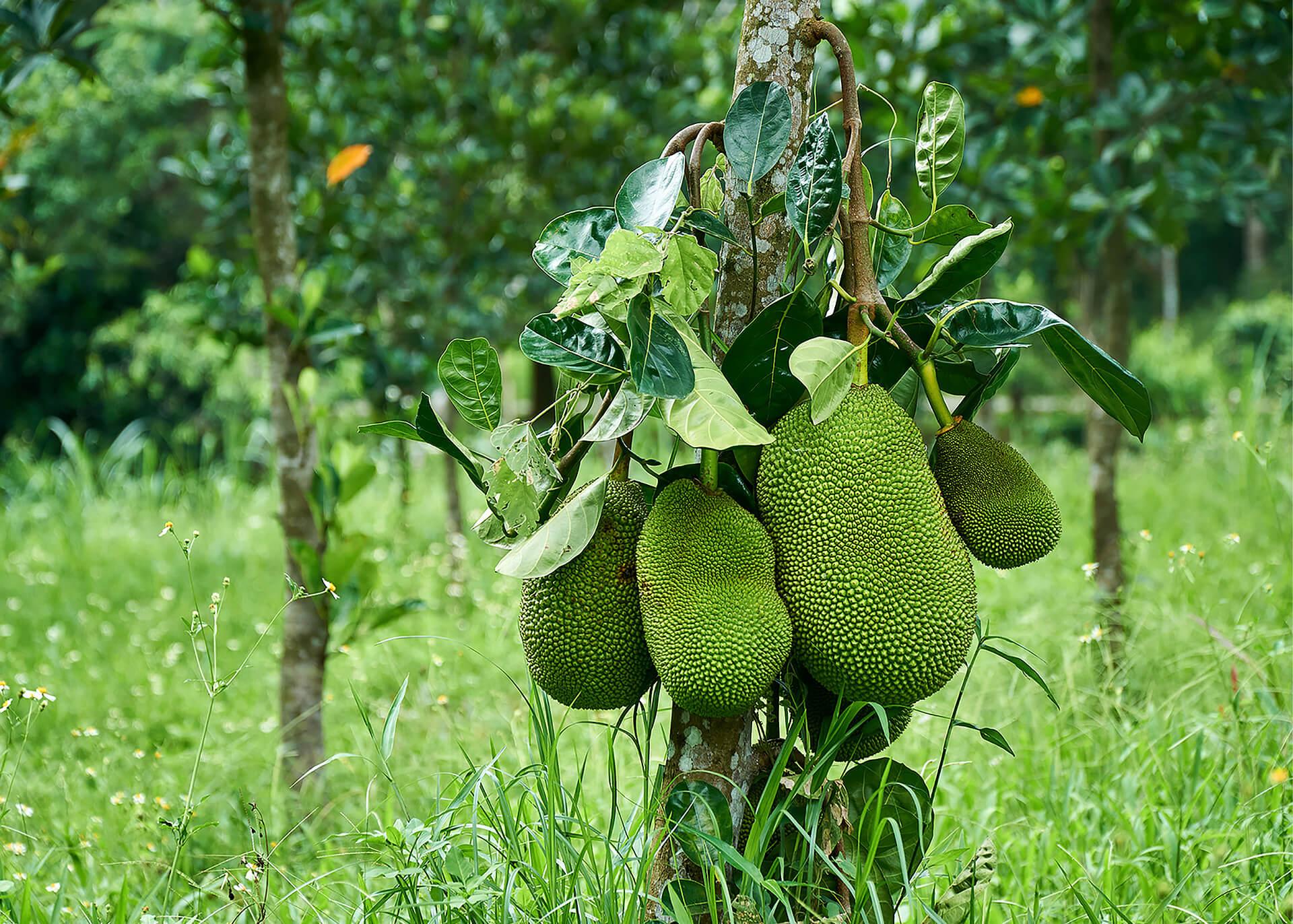Jackfruit Produktion