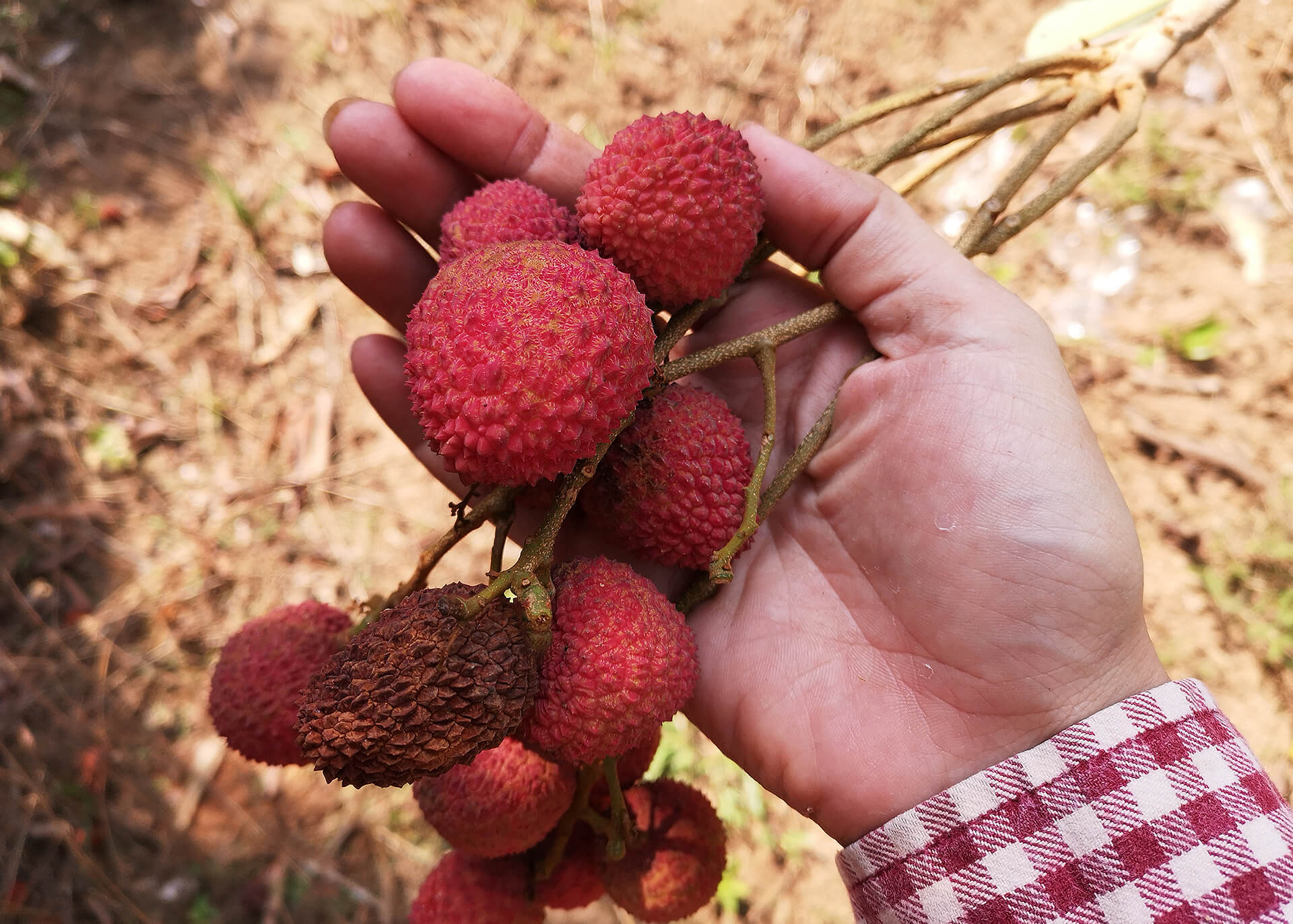 Lychees Produktion
