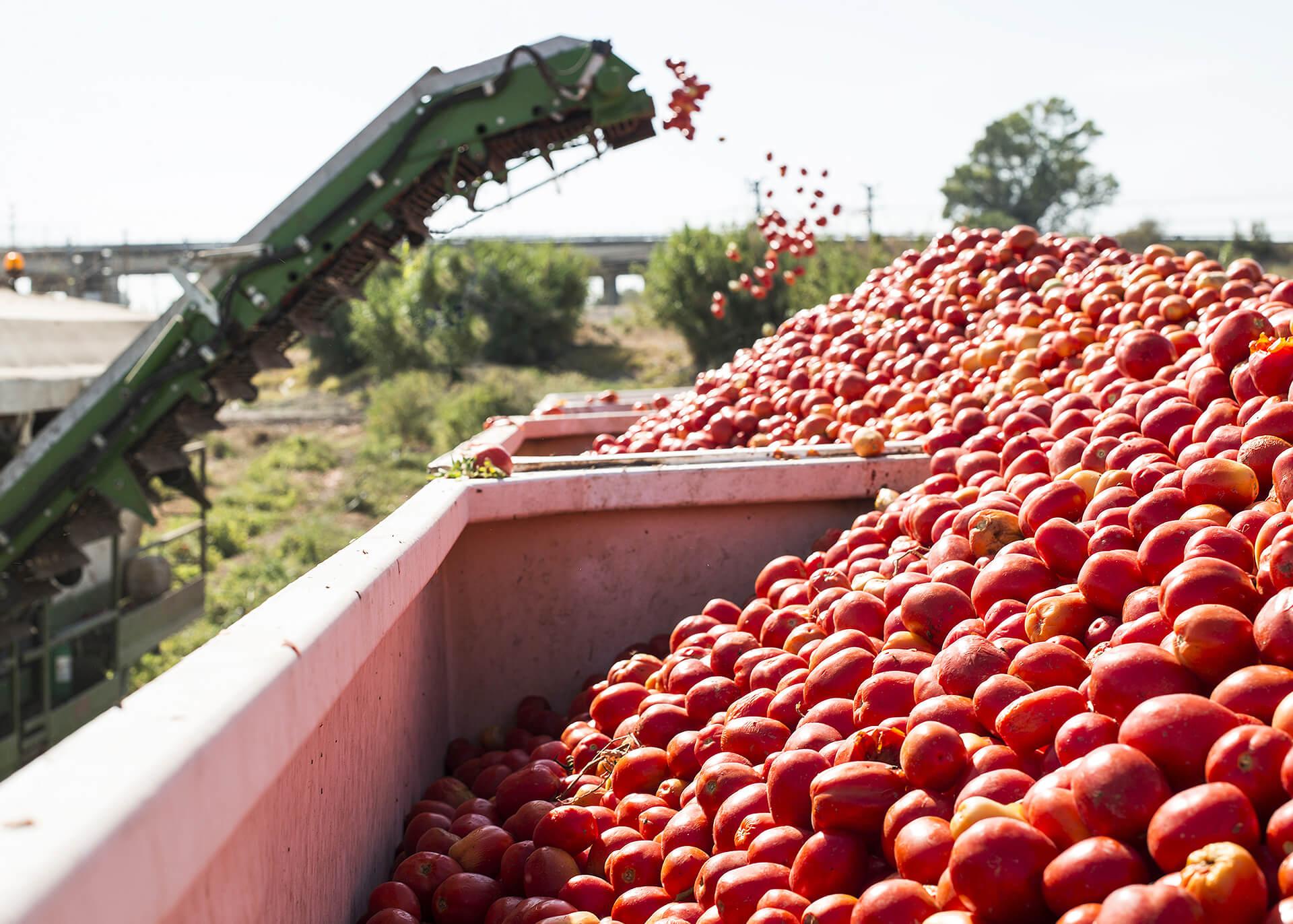 Tomatenpulver Produktion