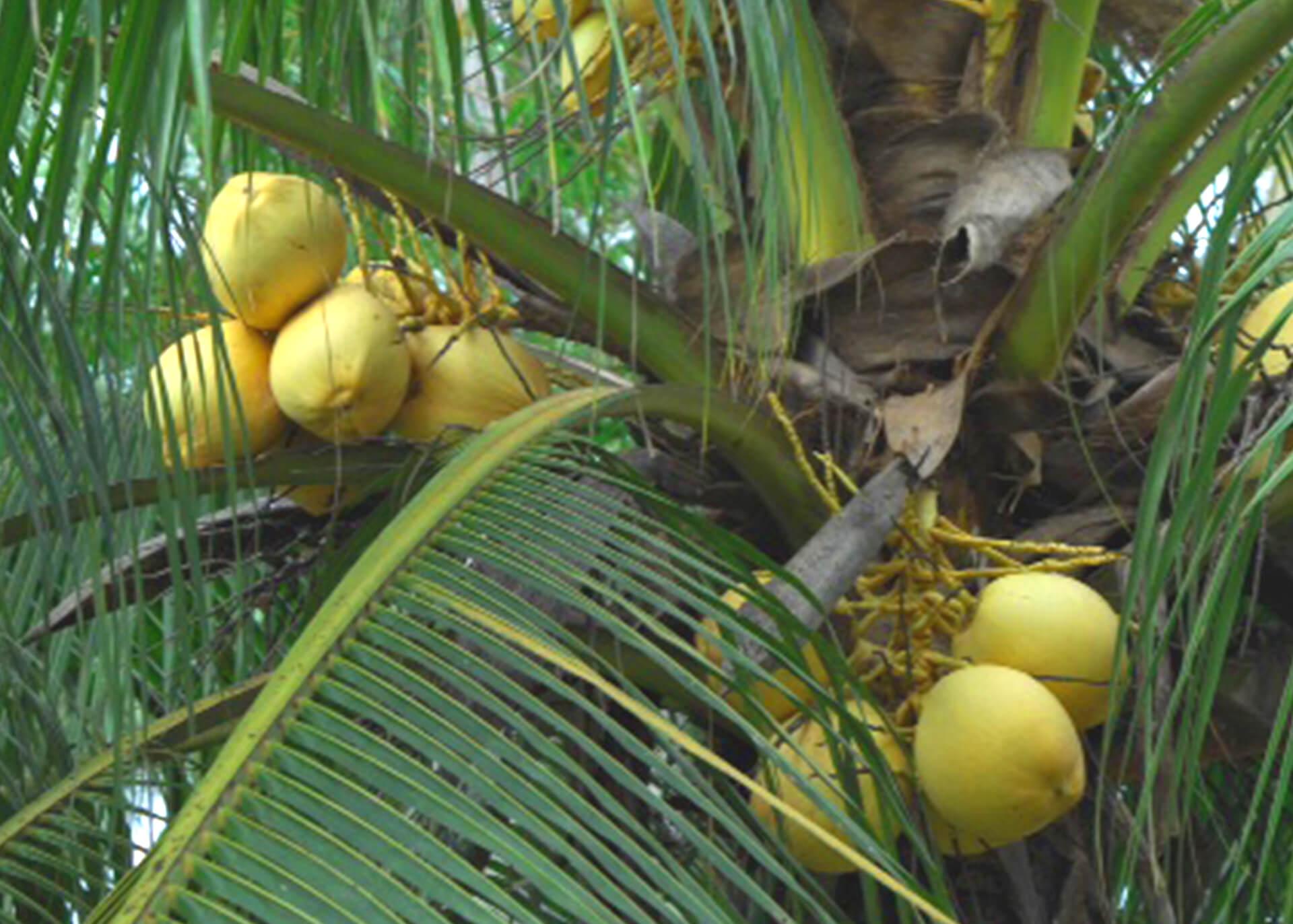 Kokosblütenzucker Produktion
