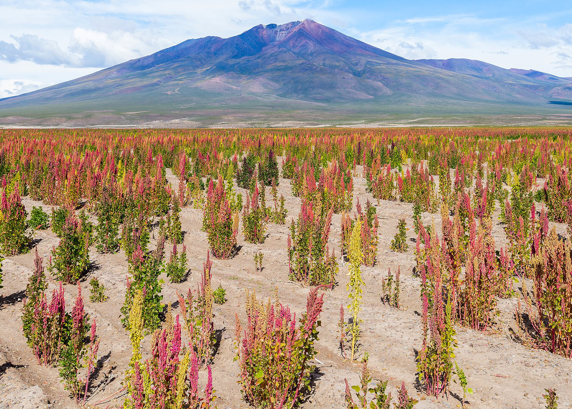 Quinoa Produktion