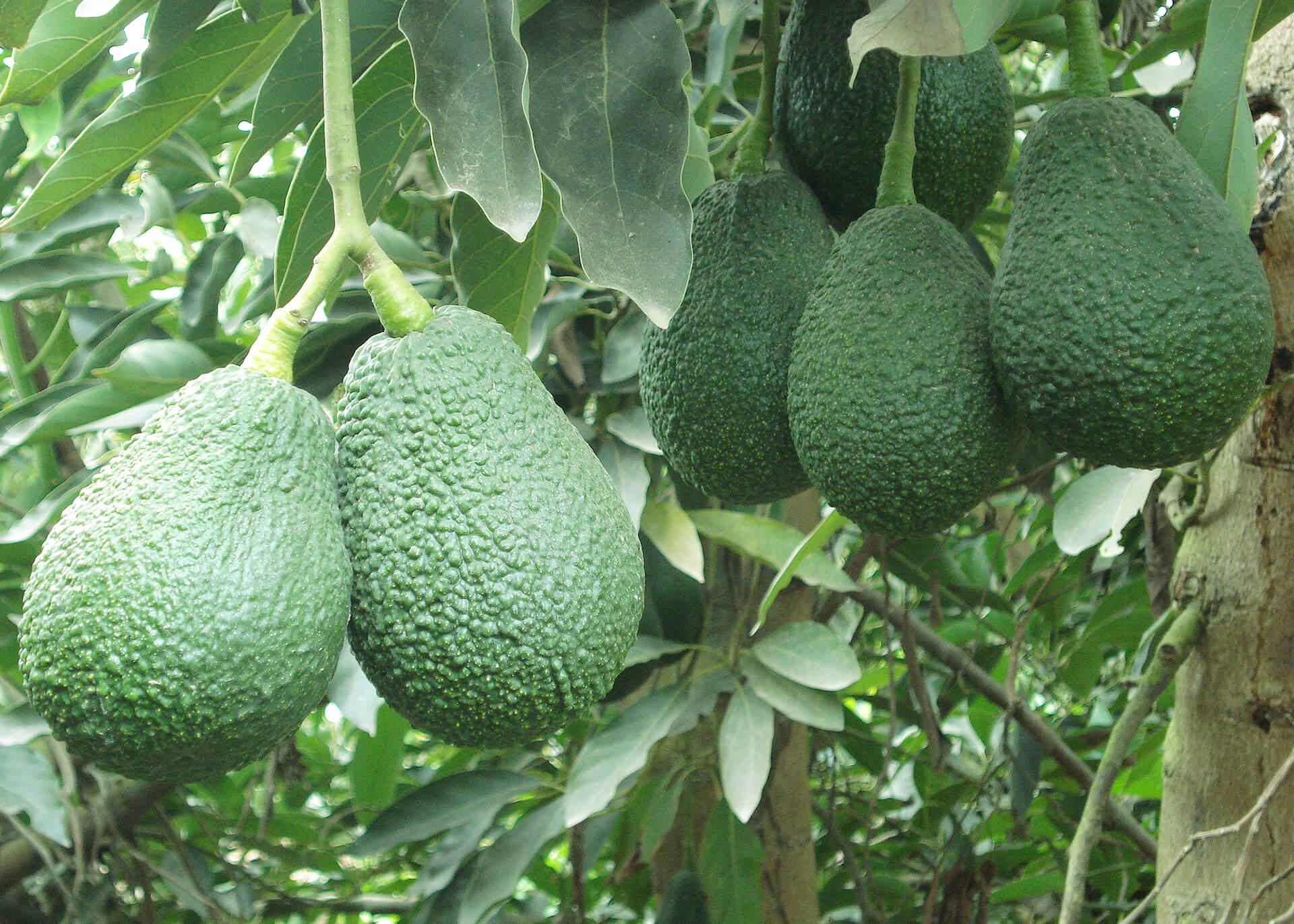 Avocado Produktion