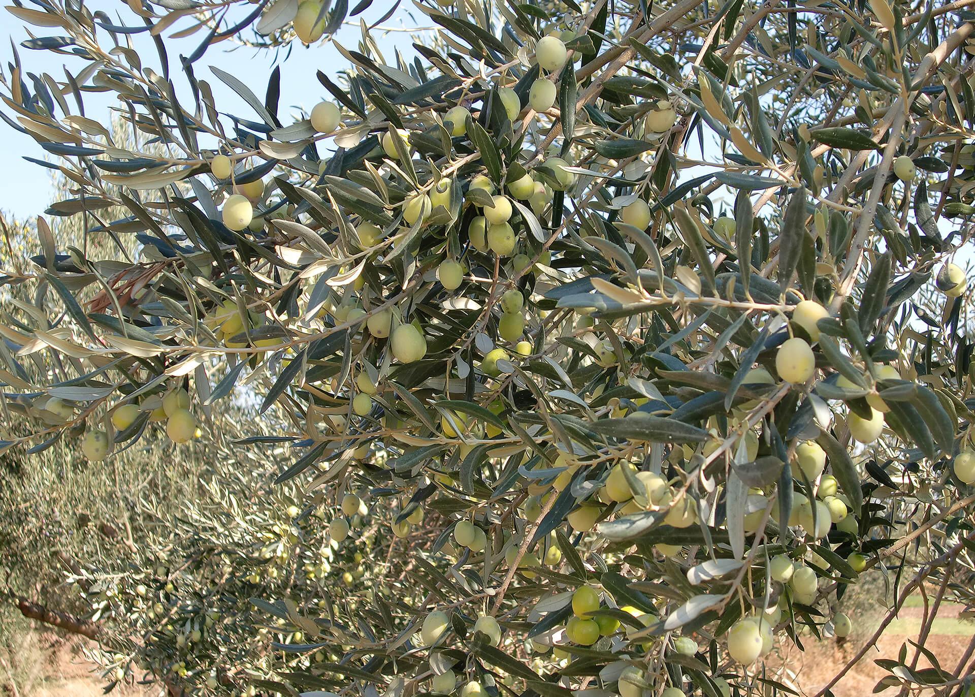 Oliven Produktion
