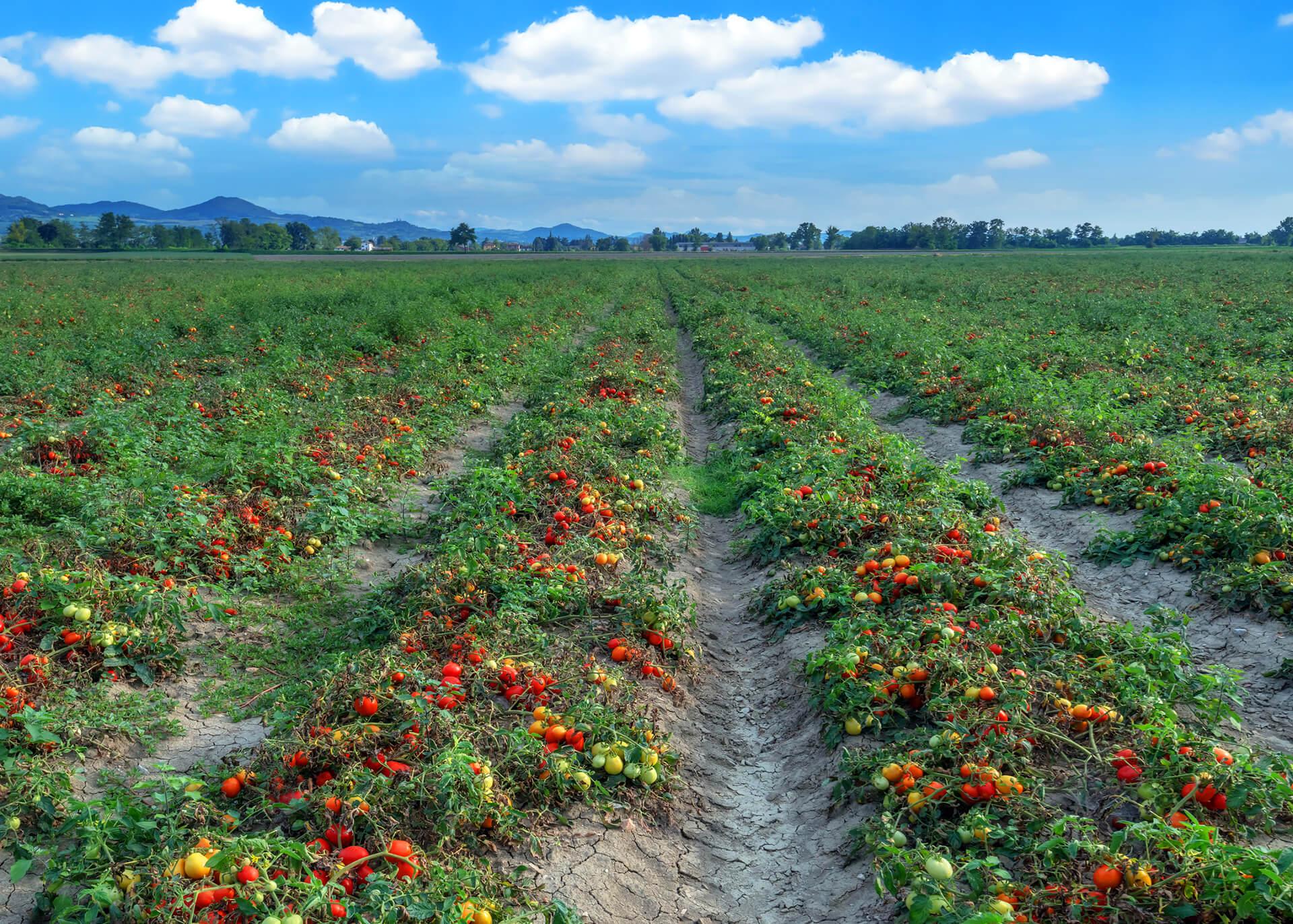 Tomatenwürfel Produktion