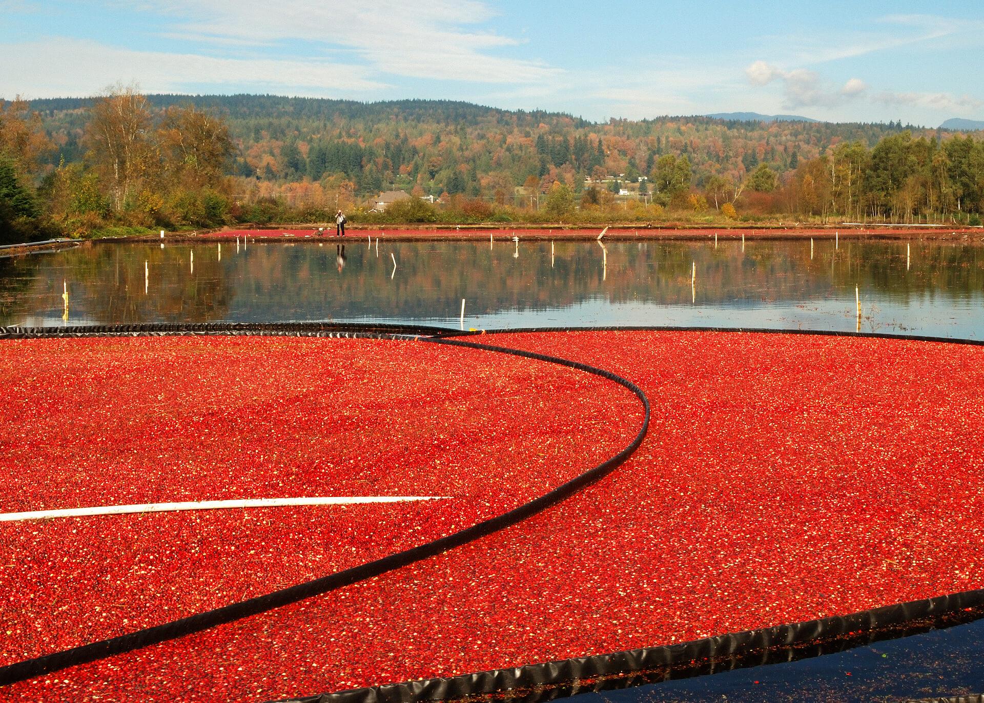 Cranberries Produktion