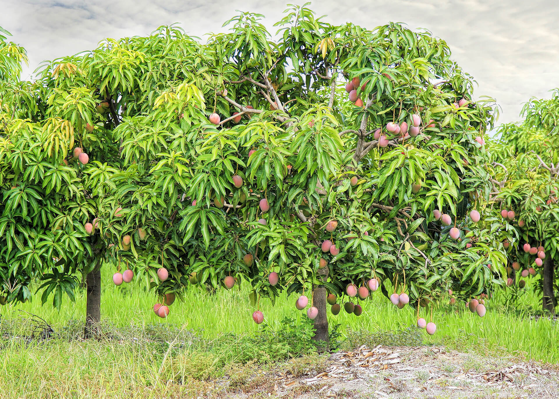 Mango Produktion