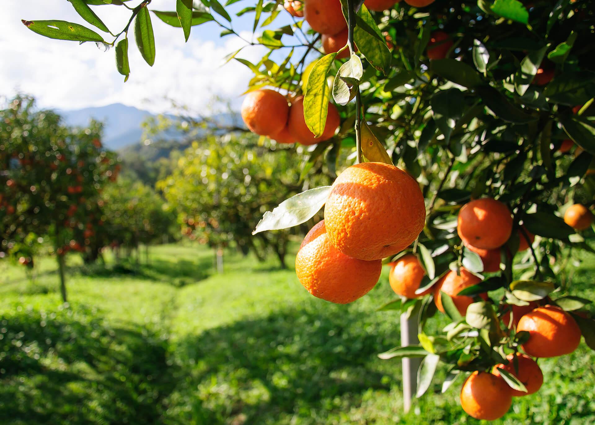 Mandarinen Produktion