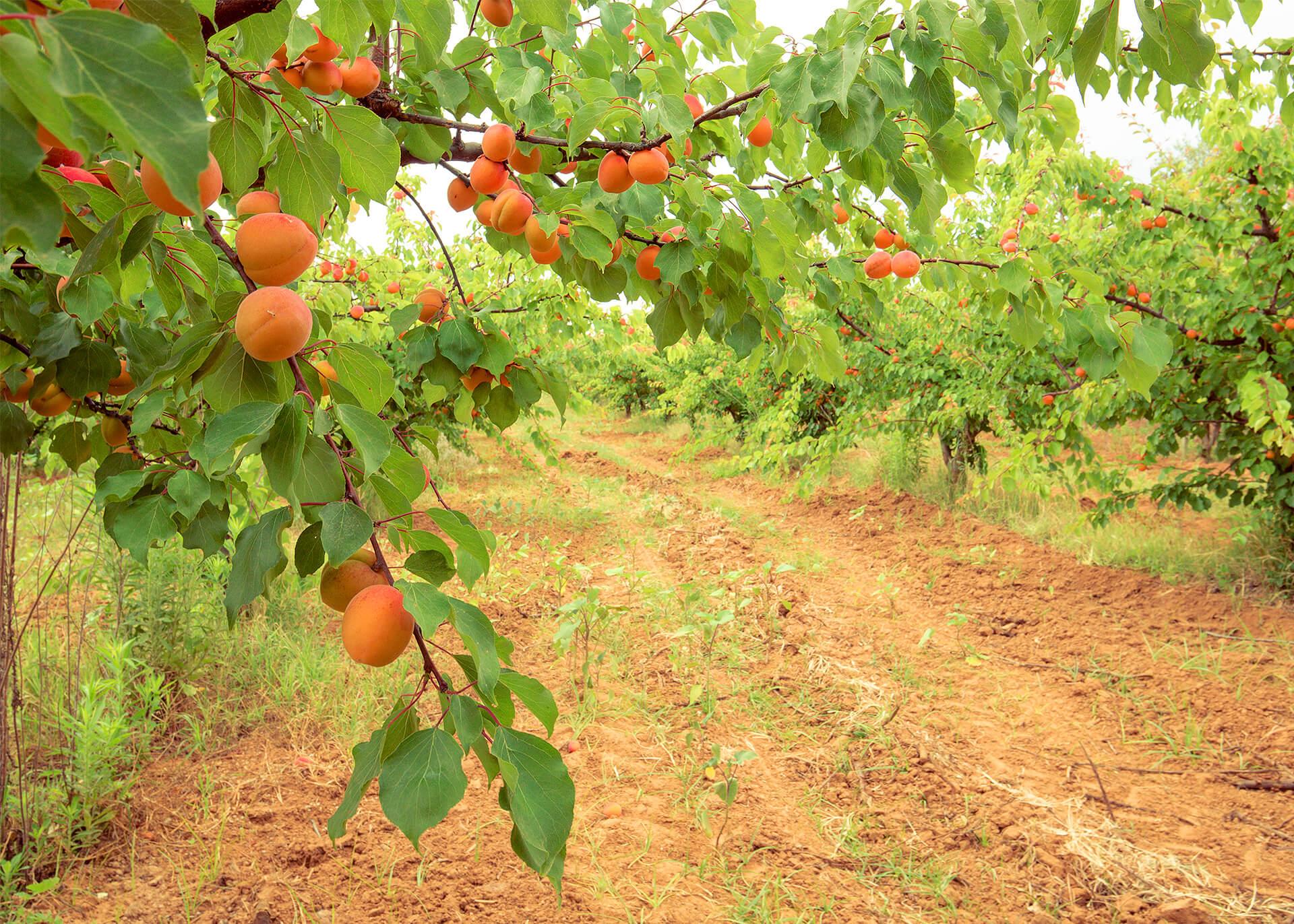 Aprikosen getrocknet Produktion