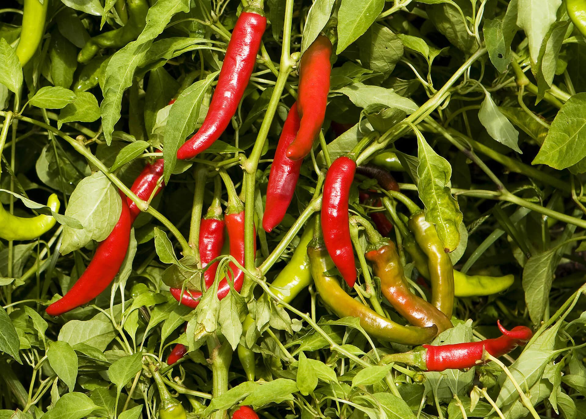 Thai Sweet Chili Sauce Produktion