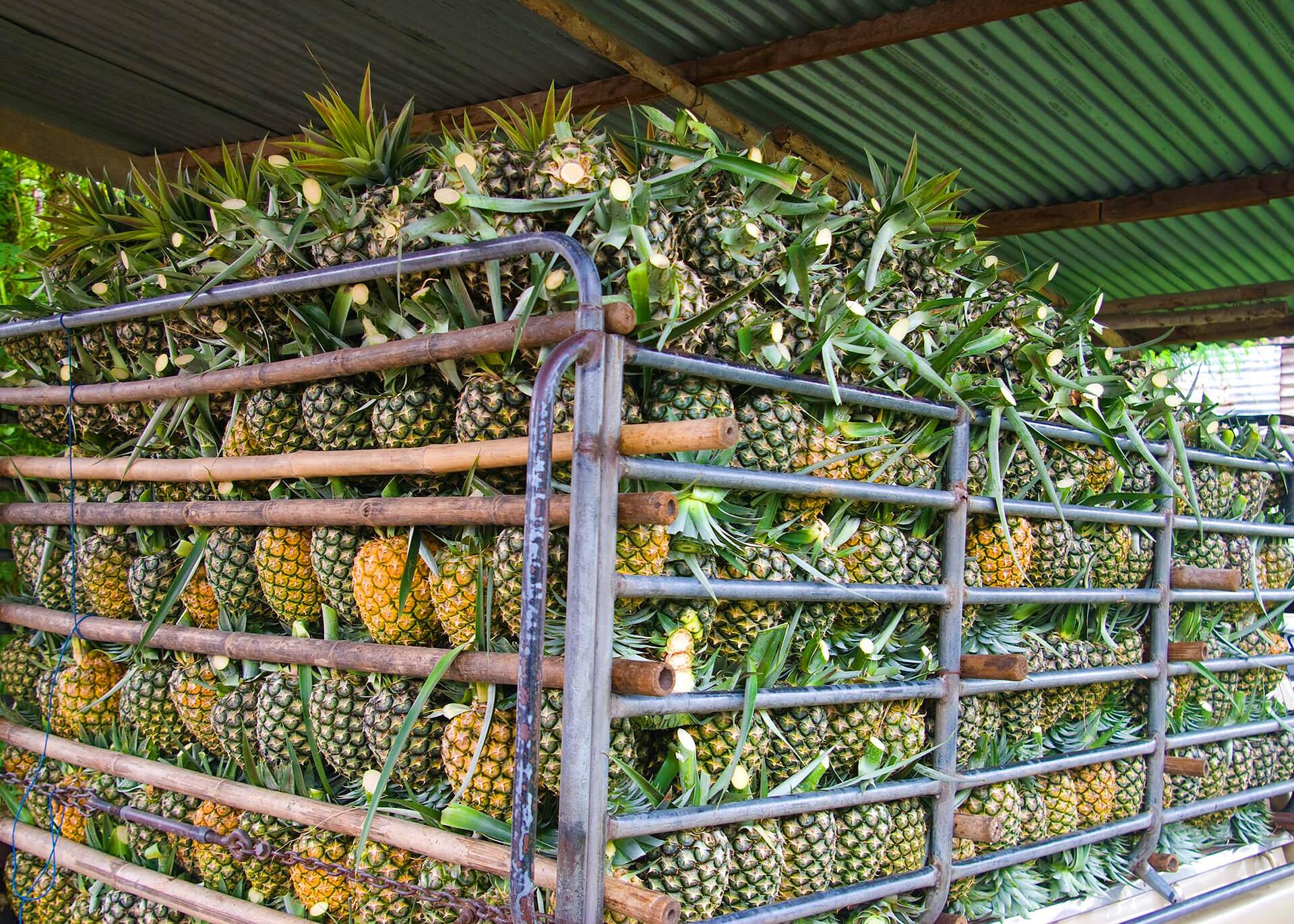 Ananas Produktion